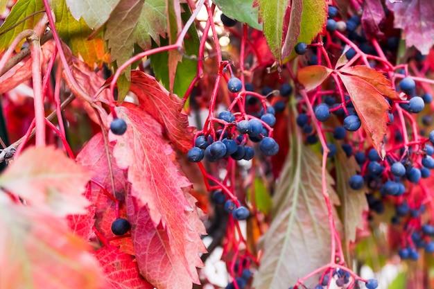 Дикие девичьи изгороди винограда с голубыми ягодами.
