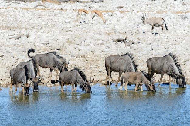 Дикие гну антилопы в африканском национальном парке