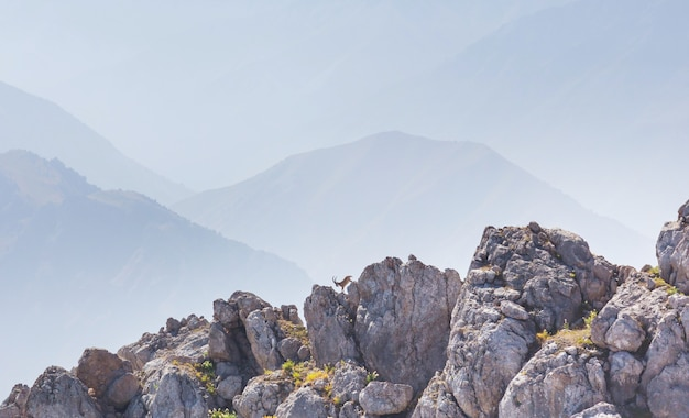 中央アジア、ウズベキスタン、チンガン山脈での野生のヤギの登山。
