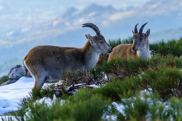 겨울에 마드리드의 눈 덮인 산 꼭대기에 야생 염소. morcuera. 스페인.