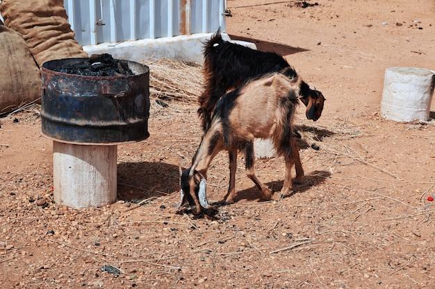 Wild goats in sahara desert of the sudan