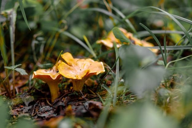 숲에서 야생 황금색 살구 버섯