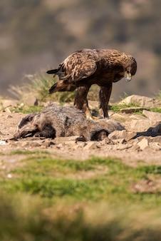 獲物の隣の地面に腰掛けて野生のイヌワシ