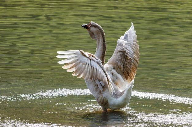暖かい秋の日に湖に飛び散る野生のガチョウ