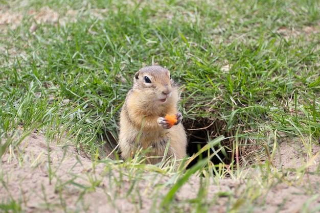 巣穴の近くで食べる野生のホリネズミ。