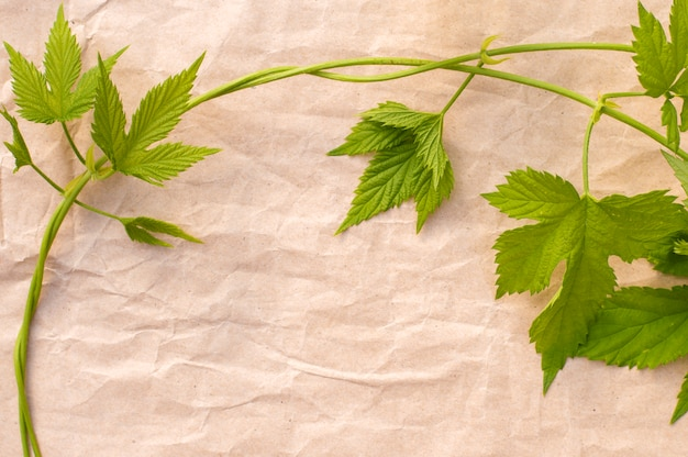 Wild grape vine on crumpled paper