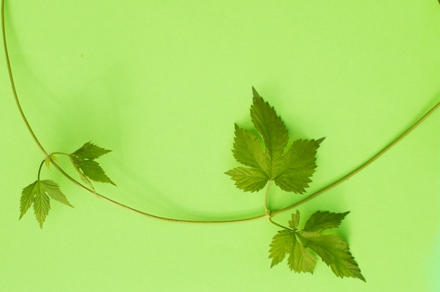 Wild grape vine on green