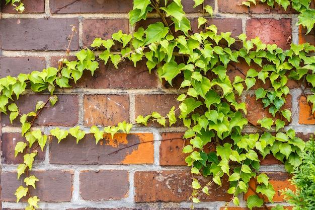 Wild grapes climbing a brick wall background.