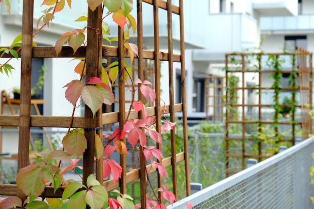 Wild grapes grow in a cozy courtyard of modern apartment building.