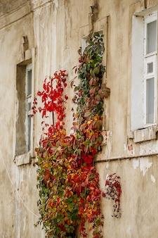 Дикий виноград на стене старого каменного дома