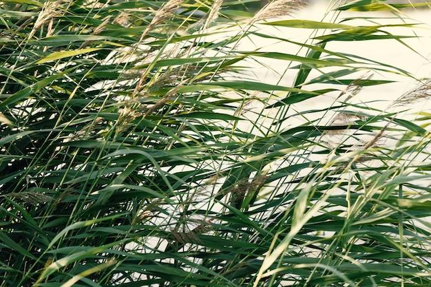 야생 풀 갈대 자연의 얇은 잎 식물의 자연과 허브의 질감은 따뜻한 햇빛입니다