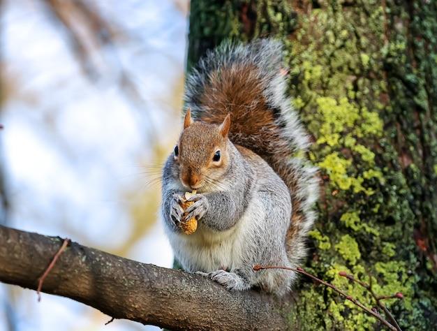 Дикая серая белка ест арахис на ветке в парке