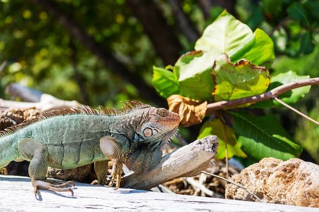 コスタリカのワイルドグリーンイグアナ