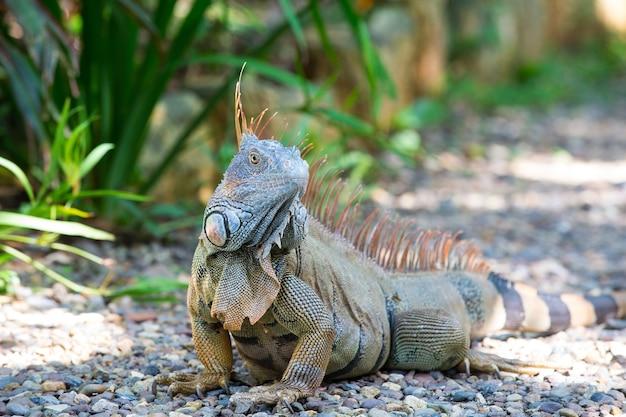 야생 녹색 도마뱀 또는 이구아나 수염 난 용 파충류 동물 화창한 여름 야외 자연 배경에 잔디 근처에 앉아