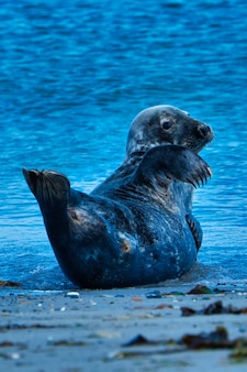 Wild grey seal sitting on the beach