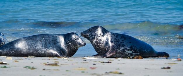 Wild grey seals sitting on the beach