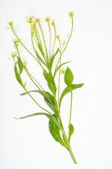흰색 바탕에 야생 초원 식물과 허브. 스튜디오 사진.