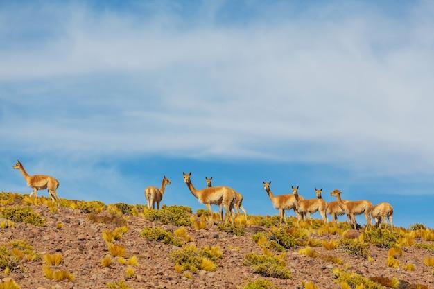 南アメリカ、チリ、パタゴニア草原の野生のグアナコ(ラマグアナコ)