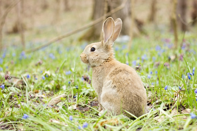 Wild hare on a flowering meadow in spring.