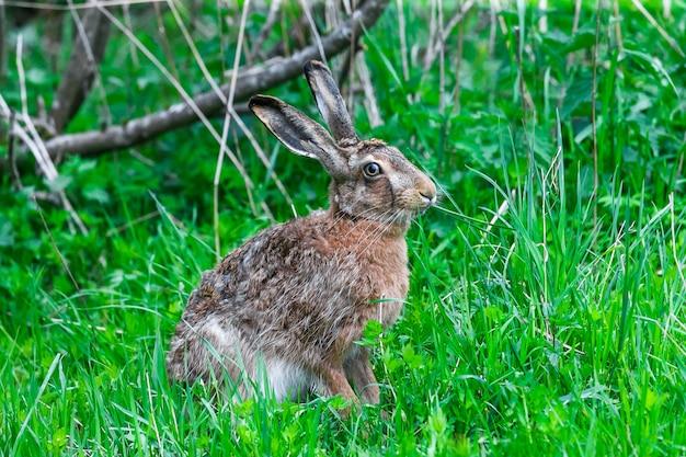 Дикий заяц сидит в зеленой траве