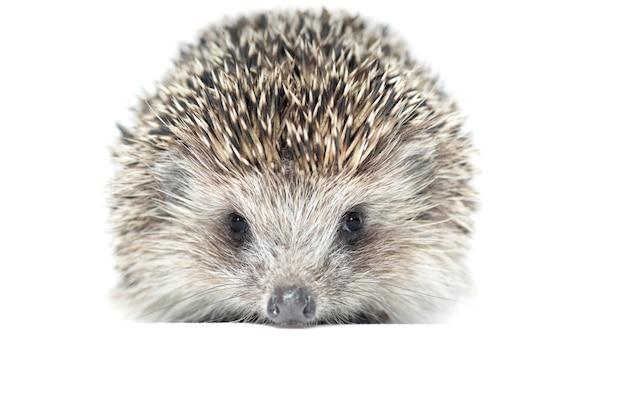 Wild hedgehog on a white background