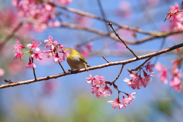 冬の季節のタイ北部のかわいい鳥と野生のヒマラヤ桜の美しい花