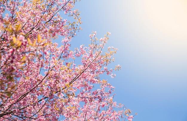 벚꽃 또는 사쿠라 꽃의 야생 히말라야 벚꽃 개화 / 분홍색 나무.