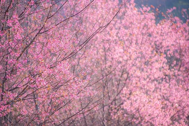 Дикая гималайская вишня, красивый розовый цветок сакуры в зимнем пейзаже