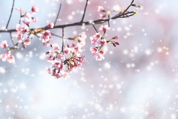 Дикая гималайская вишня, красивый розовый цветок сакуры зимой со снежным пейзажем