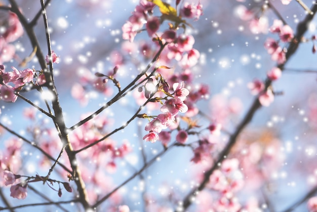 Wild himalayan cherry blossom, beautiful pink sakura flower at winter with snow landscape