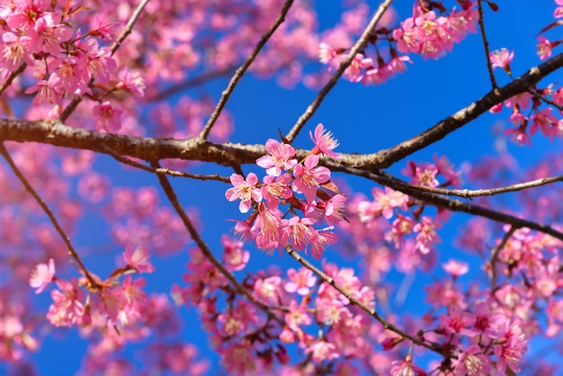 Wild himalayan cherry blossom blooming.