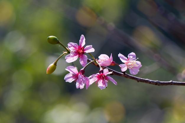 봄에는 야생 히말라야 벚꽃