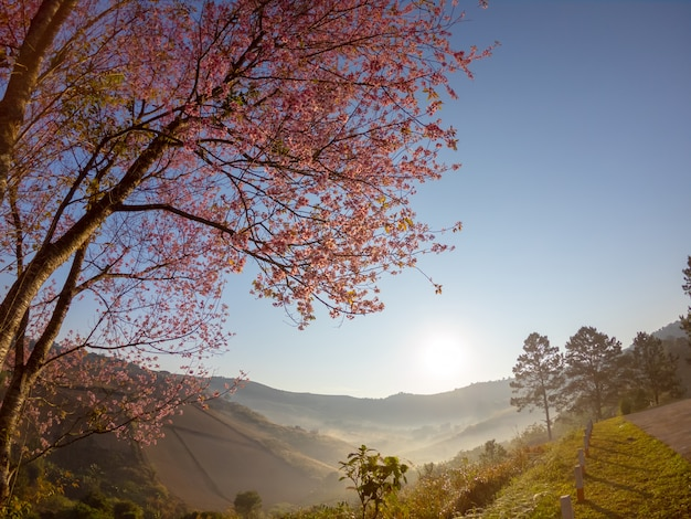 Wild himalayan cherry blossom on mountain at sunrise view landscape in thailand.