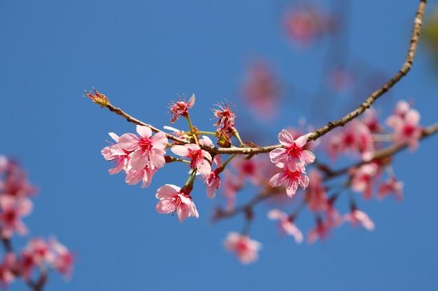 푸른 하늘 배경에서 아름 다운 분기 나무에 야생 히말라야 벚꽃