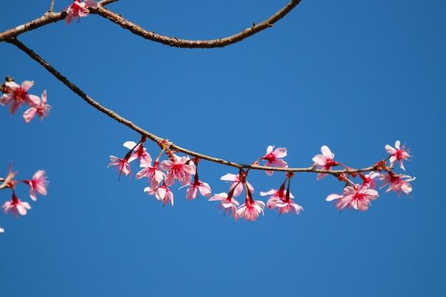 푸른 하늘 배경에 아름다운 분기 나무에 야생 히말라야 벚꽃 핑크 식물