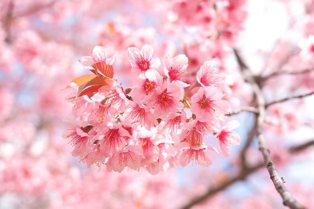봄철의 야생 히말라야 벚꽃, 벚나무 세라소이데스, 배경용 핑크 사쿠라 꽃
