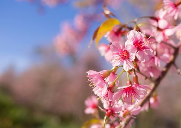 春の季節の野生のヒマラヤ桜、サクラソウ、ピンク桜