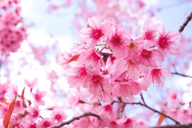 春の野生のヒマラヤの桜、プルノスセラソイド、ピンクのサクラフラワー