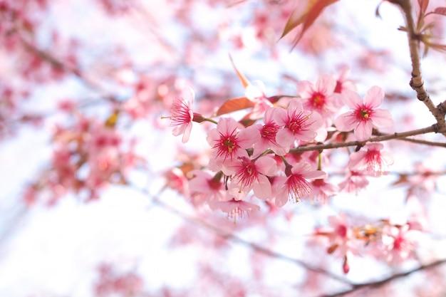 봄 시즌에 야생 히말라야 벚꽃