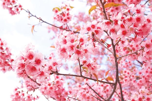 春の野生のヒマラヤの桜