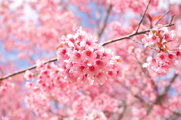 Wild himalayan cherry blossoms in spring season, pink sakura flower for background