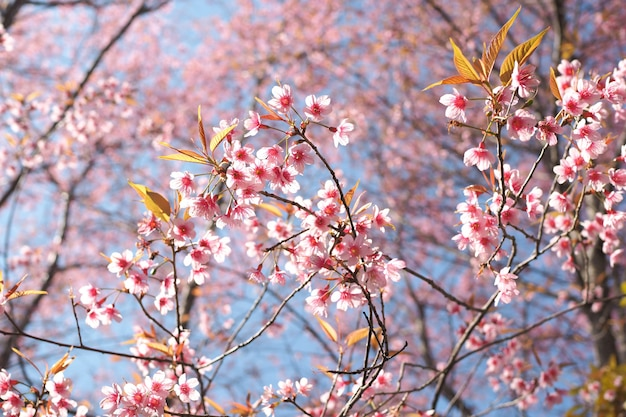 Wild himalayan cherry blossoms in spring season, prunus cerasoides, pink sakura flower  the background