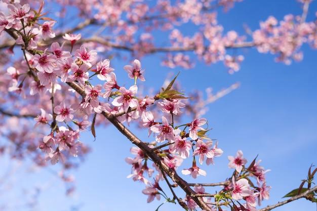 Wild himalayan cherry blossoms in spring season, prunus cerasoides, pink sakura flower