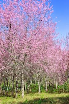 Wild himalayan cherry blossoms in spring season (prunus cerasoides), sakura in thailand