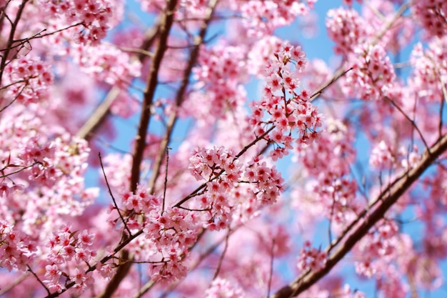Wild himalayan cherry blossoms in spring season (prunus cerasoides)