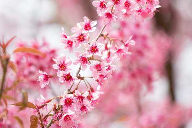 Wild himalayan cherry blossoms in spring season (prunus cerasoides) Premium Photo