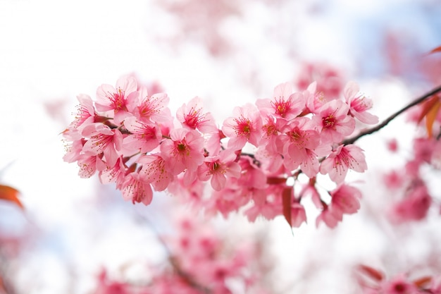 Wild himalayan cherry blossoms in spring season
