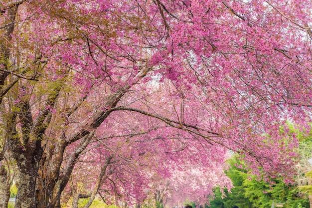 태국에서 야생 히말라야 체리 꽃 (벚나무 cerasoides)