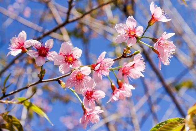 Wild himalayan cherry flowers or sakura across blue sky