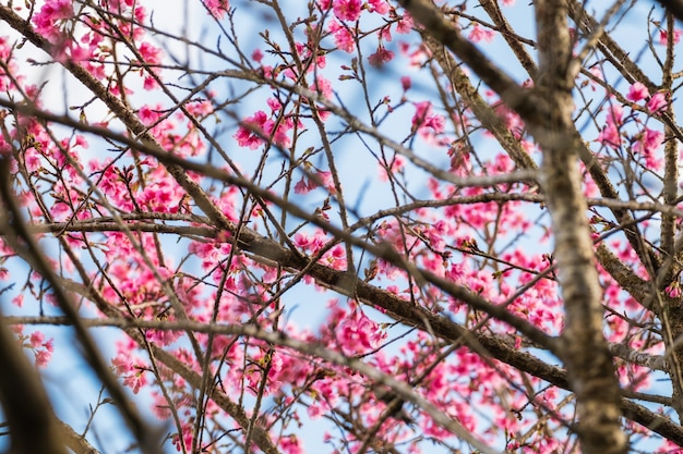Wild himalayan cherry pink flower on branch natural background